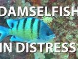Under H20 | Damselfish in Distress