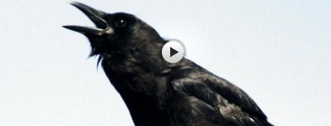 Image of A Murder of Crows