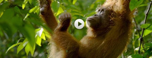 Image of The Last Orangutan Eden