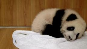 One of Mei Xiang's Twin Cubs Dies