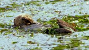 The California Sea Otter Makes a Comeback