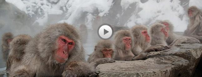 Image of Snow Monkeys