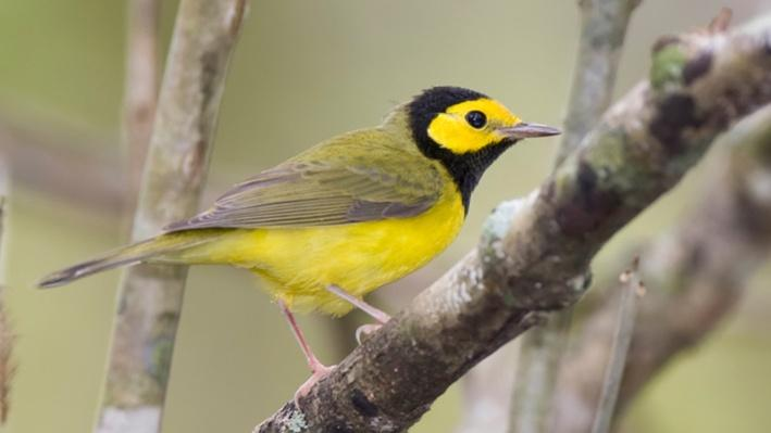 Indicator Species: Hooded Warbler