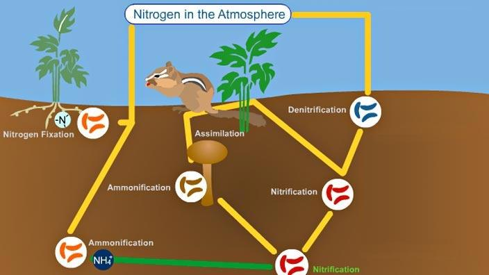 The Nitrogen Cycle  Science Nitrogen Fixation For Kids