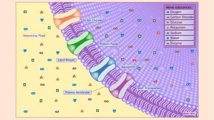 Cell Membrane: Just Passing Through
