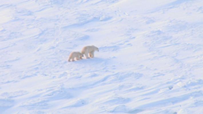 expository essay on polar bears