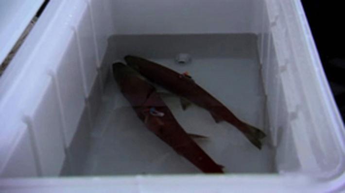 Producing Salmon