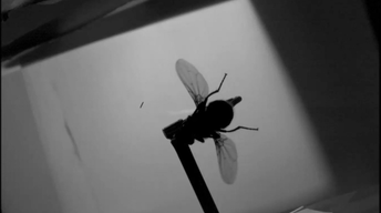 Flight of the Fly