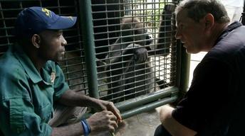 Creature Clip: Cross River Gorilla