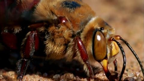 Nature -- Bee Mating Frenzy Ends in Death