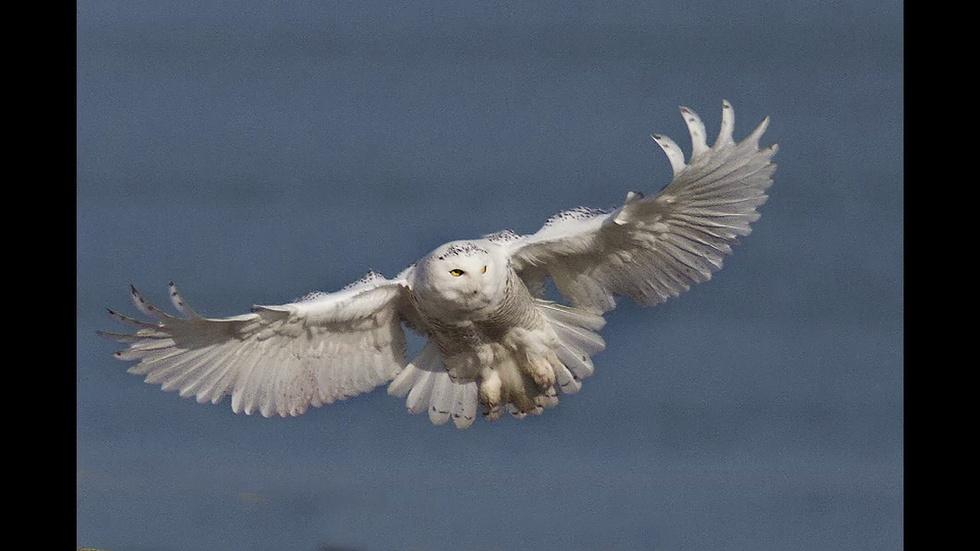 Photographer Captures Snowy Owl Along Lake Michigan image