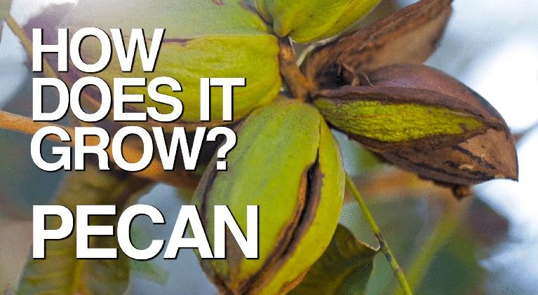 How Does It Grow: Pecans