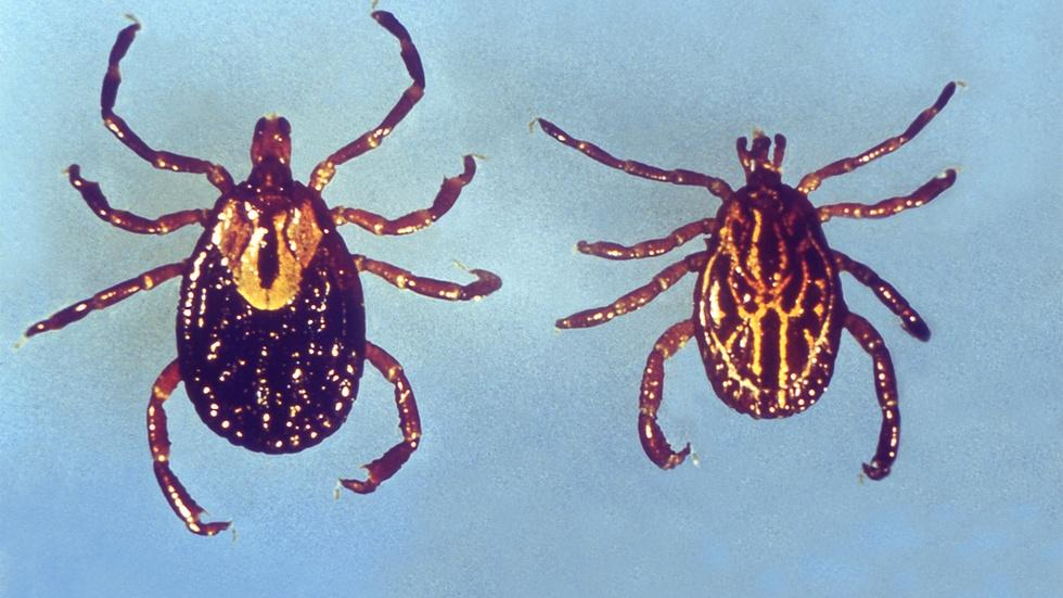 Could genetically engineered mice reduce Lyme disease? image