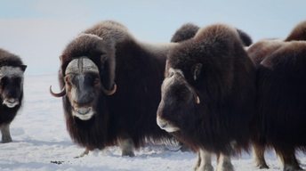 401: Musk Oxen Research
