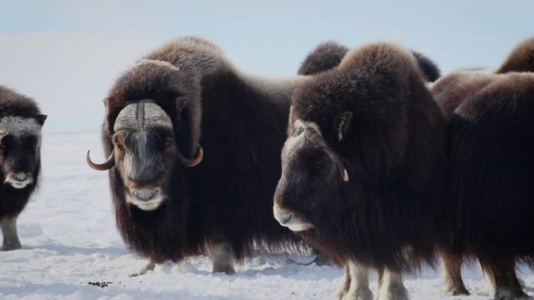 WEDU Quest: 401: Musk Oxen Research