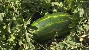 Backyard Farmer: Watermelon - Season Finale