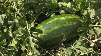 Backyard Farmer: Watermelon - Season Finale