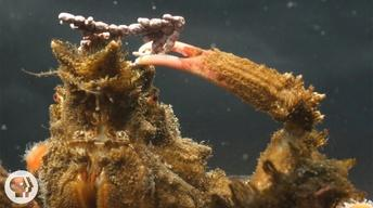 S4 Ep7: Decorator Crabs Make High Fashion at Low Tide