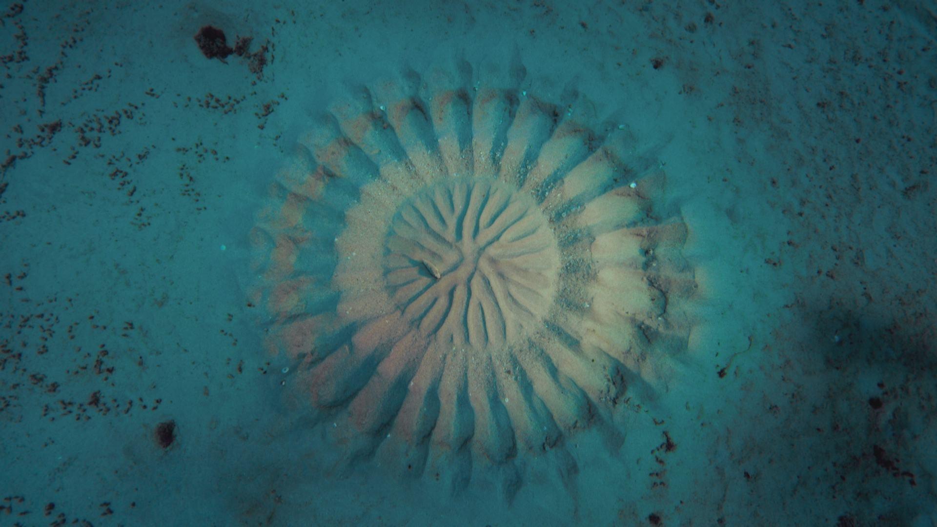 The pufferfish big pacific video thirteen new york for Puffer fish art