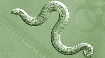 Rat Lungworm: What You Need to Know. What You Need to Do.