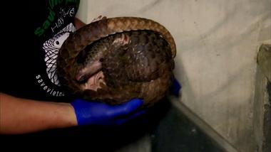 Rescued Pangolins Treated for Injuries