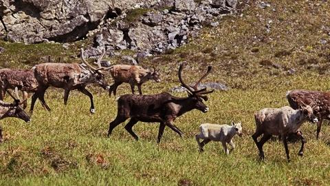 Nature's Great Race -- Caribou