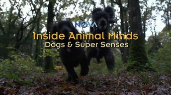 NOVA: Inside Animal Minds - Dogs & Super Senses