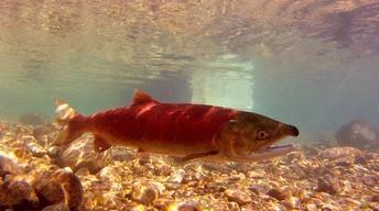 Salmon  (2013)