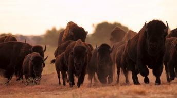 Saving Bison, Hunting Access & Corralling CWD