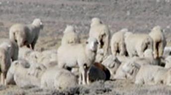 Sheepherding Issues in Colorado