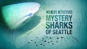 Searching For The Mystery Sharks of Seattle