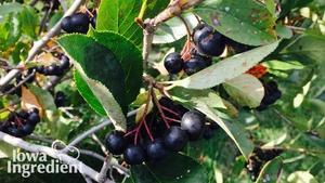 Aronia Berries | Iowa Ingredient