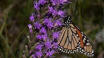 Butterfly Gardening by Color