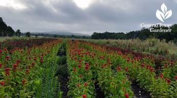Arnosky Family Farms Cut Flowers