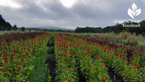 Arnosky Family Farms Cut Flowers Video Thumbnail