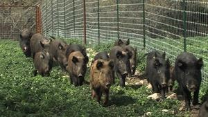 Feral Hogs, History Keeper & Going to Garner