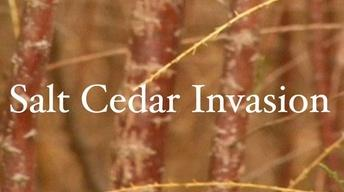 Salt Cedar Invasion