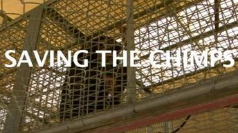 Saving the Chimps