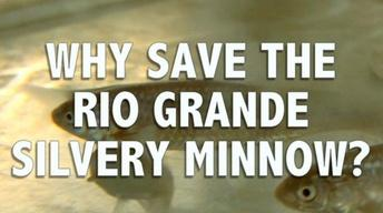 Why Save the Rio Grande Silvery Minnow?