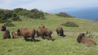 Catalina Island Bison Study