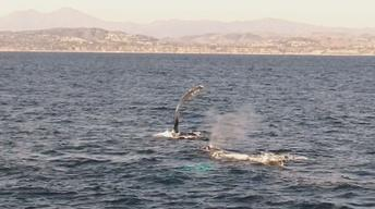 Whales Take The Stage In Dana Point