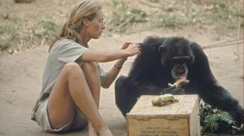 Secret World of Chimpanzees