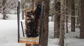 Wolverines Found in Oregon