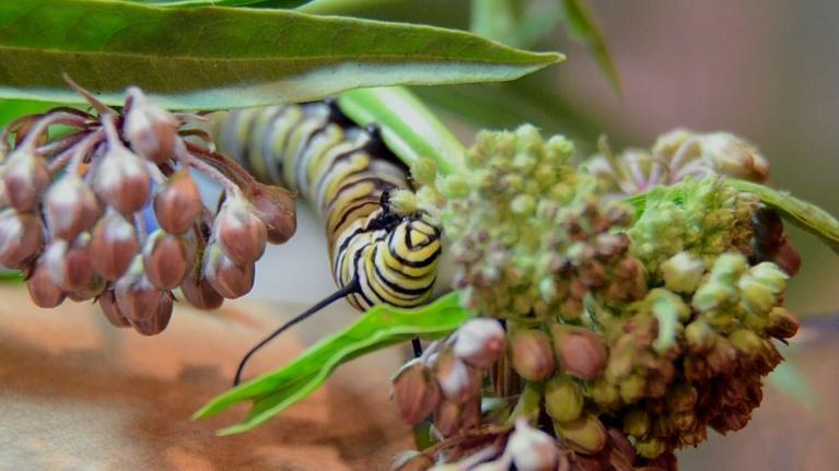 Oregon Field Guide: Preview Season 27, Episode 10: Monarchs & Milkweed