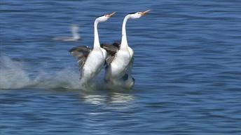 Grebes Walk on Water