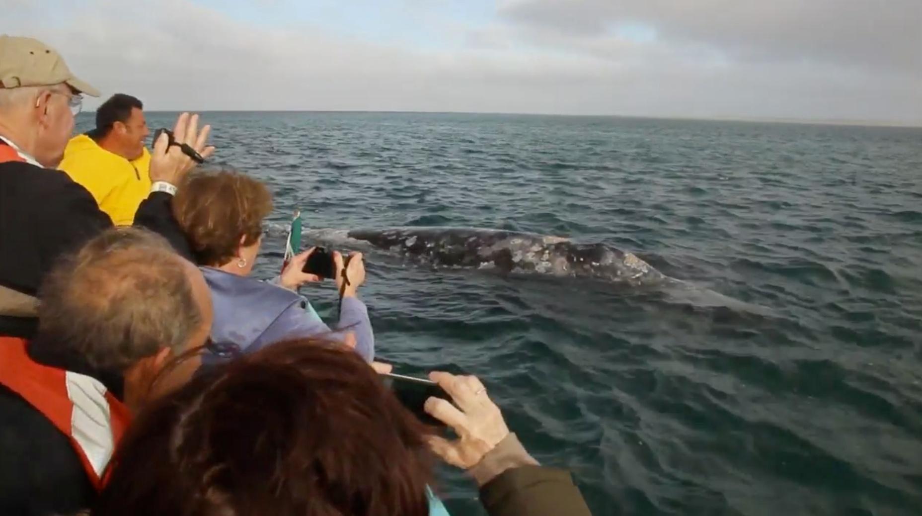 Guerrero Negro Whale Petting image