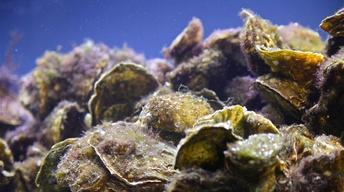 Oyster Reef Restoration image