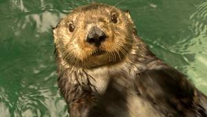 Keeping it Cool: Sea Otters, New Cars and Old Forests