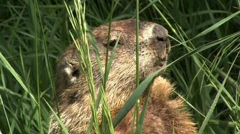 Woodchucks and a Green Roof