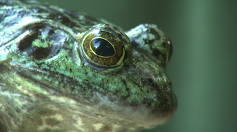 Invasive Bullfrogs, and Oak Trees